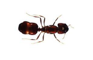 Repelentes interiores Ant