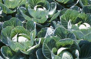 ¿Puede crecer col en Temps de congelación?