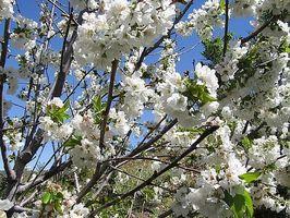 Cómo hacer crecer un árbol de cerezo