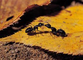 Infestación de hormigas negras pequeñas en mi césped