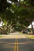 Árboles ornamentales en la Florida