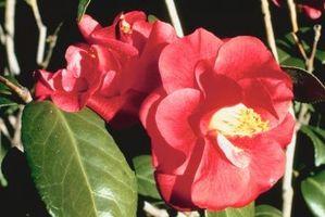 Arbustos para setos de hoja perenne