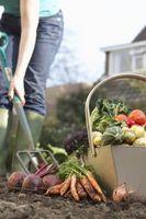 Cómo cultivar un jardín de verduras de invierno