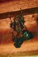 Cómo matar las arañas con diatomeas