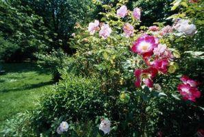 Hechos científicos de la planta de flor rosa
