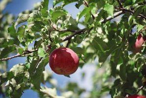 Cómo podar y mantener viejos manzanos
