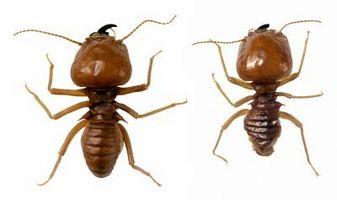 Cómo identificar los tubos de barro de termitas