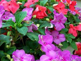 Hechos científicos sobre Impatiens flores