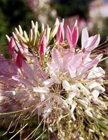 ¿Es venenoso a los seres humanos la Cleome de flores?