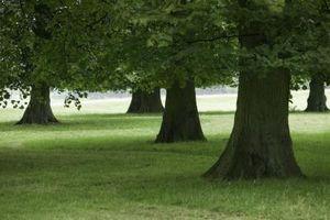 Daño de Gopher para madurar las raíces del árbol de roble