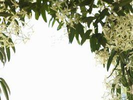 Enredadera de identificación de flor