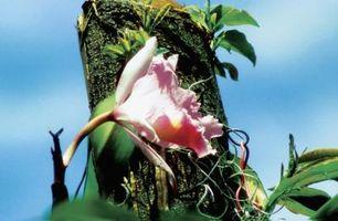 ¿Orquídeas tienen raíces adventicias?