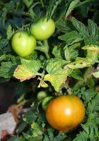 ¿Qué tipo de fertilizante debe utilizar para las plantas de tomate?