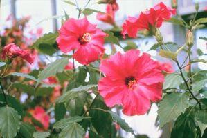 Pesticidas naturales para problemas de hibisco