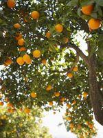 Cómo hacer Spray de insectos para naranjos