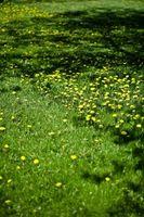 Cómo matar malas hierbas con hojas amplias orgánicamente