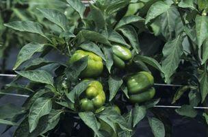 Enfermedades que se encuentran en las plantas de pimiento verde