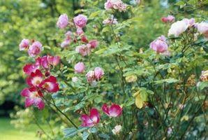 Cómo proteger el árbol de rosas