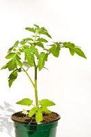 Método japonés de cultivo de tomate