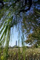 Supersticiones sobre árboles de sauce llorón