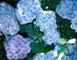 Cómo hacer naturalmente hortensias azules