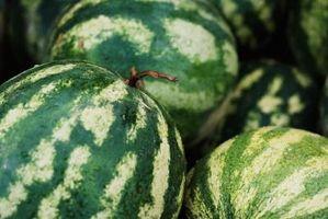 Control del escarabajo del pepino en melones