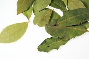 ¿Qué arbustos de Laurel de daños?