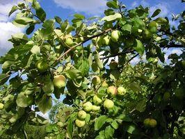 Tipos de manzanos que crecen bien en el este de Tennessee