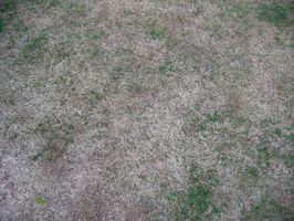 ¿Por qué no crece la hierba bajo mi algarrobo?