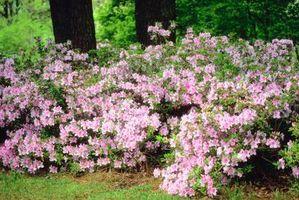 ¿Por qué sería un arbusto Azalea apesta?