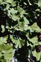 ¿Cómo juntos pueden crecer árboles de Ginkgo?