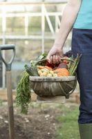 ¿Cuándo empezar a plantar verduras en Massachusetts