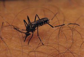 Cómo matar las larvas de Mosquito con cloro o vinagre