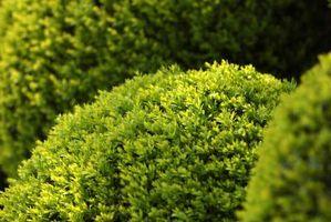 Enano arbustos y plantas