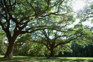 Manchas oscuras en árboles de roble