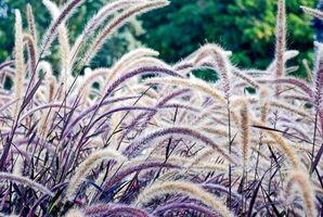 Guía a las gramíneas ornamentales