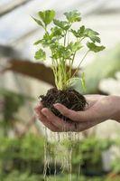 Las ventajas de geotropismo en las raíces