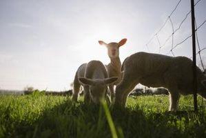 Cómo utilizar la oveja Southdown de muñeca para Control de malezas