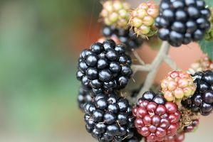 Cómo cultivar Boysenberries en Denver