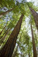 ¿Que es una madera mejor para una mesa de Picnic: cedro rojo o Redwood?