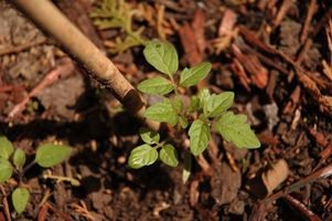 Cuidado de plantas de tomate Brandywine