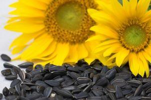 Cómo guardar las semillas de girasol para sembrar la siguiente primavera