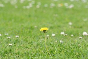 ¿Cómo reconocer a las malas hierbas en el césped