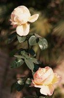 La mejor que huele rosas de escalada