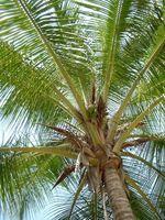 Hechos en una planta de árbol de coco