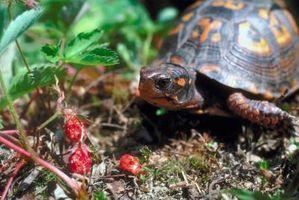 Cuidado del césped orgánicos para librarse de las malas hierbas en Fresas salvajes