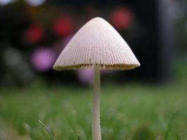 Cómo tratar los hongos en su césped