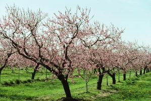 Orchard Bee Mason anidación caja