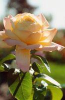 Cómo tratar el moho en rosas