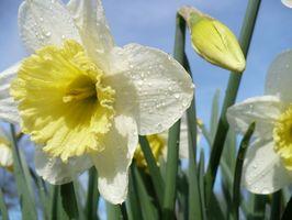 ¿Cuándo dividir bulbos de flores?